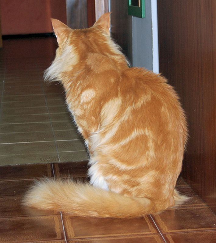 Rosso Tabby Blotched